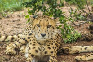 Portrait of male Cheetah resting