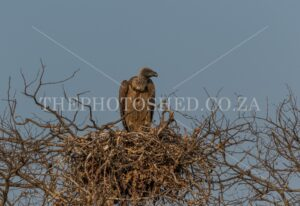 A juvenile Vulture sitting in its nest waiting to be fed