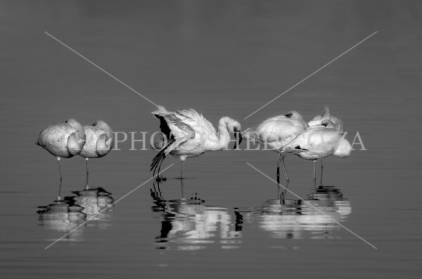 Lesser Flamingos taken in black and white