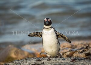 African Penguin mates balancing at Stony Point nature reserve, Betties Bay