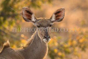 Female Kudu with big ears