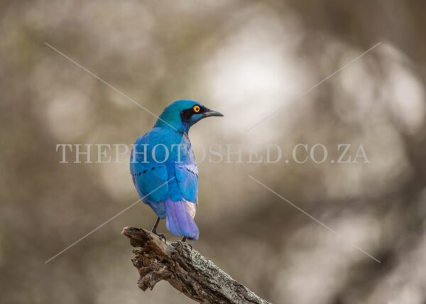A bright blue Starling