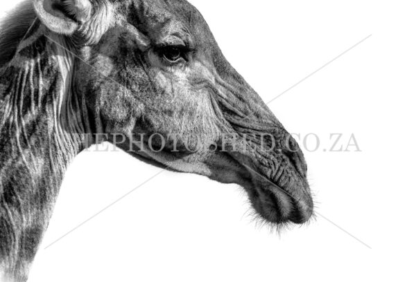 Black and white head shot of giraffe