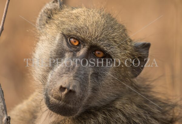 Brown Eyed Baboon tilting his head