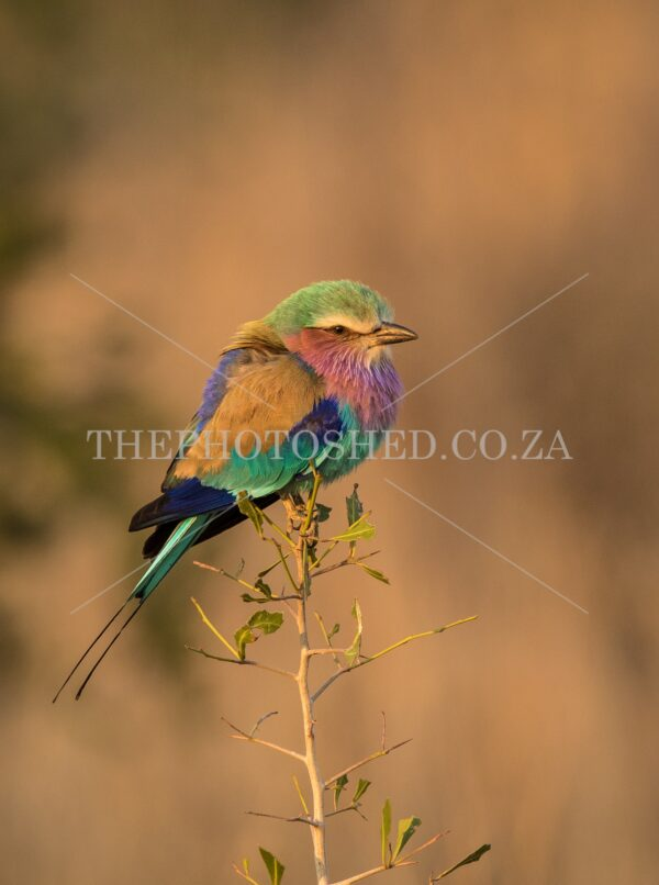 Courful Lilac-breasted Roller sitting in a tree