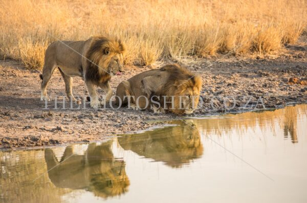 Two lions drinking water with their reflections in the water