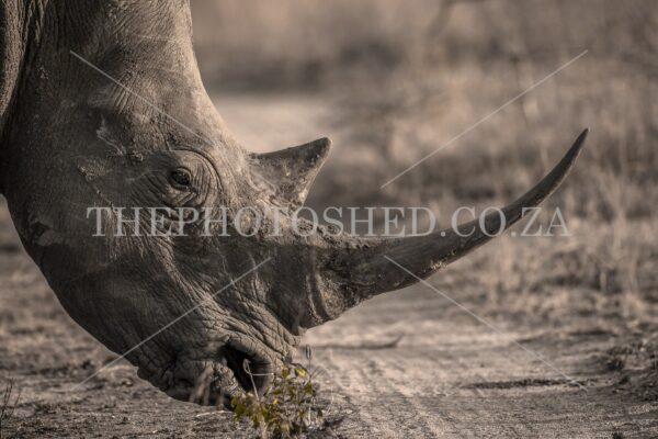 Endangered White Rhino grazing