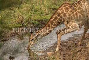 Gangly Giraffe drinking water with bended knees