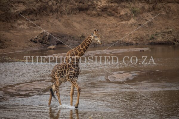 Giraffe crossing a river full of water