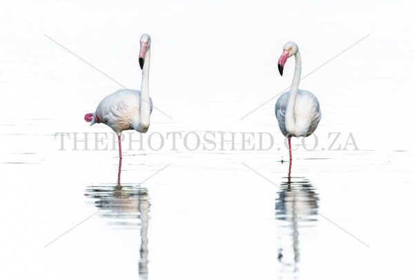 Two Greater Flamingos balancing on one leg in the water