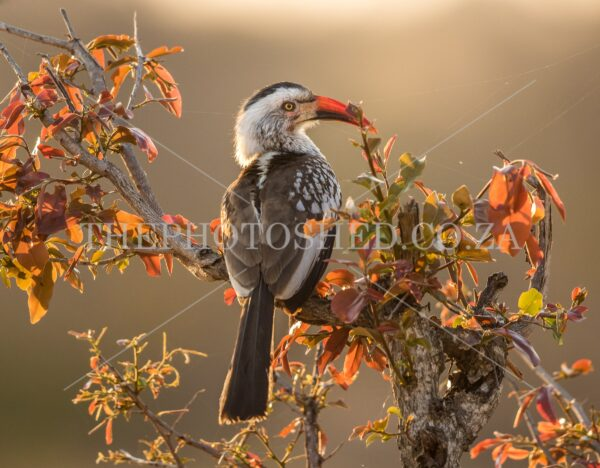 Colourful Red-billed Hornbill in the morning light