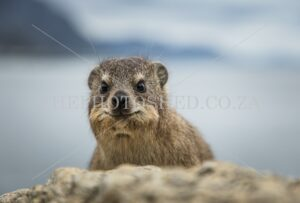 Inquisitive tame Dassie in Hermanus