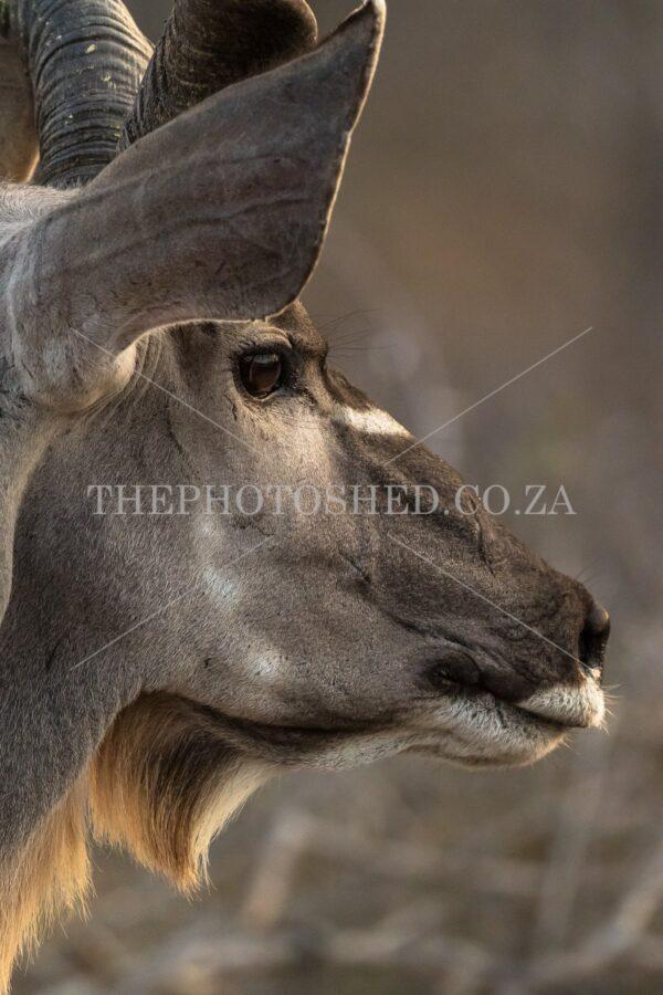 Side profile of a Kudu