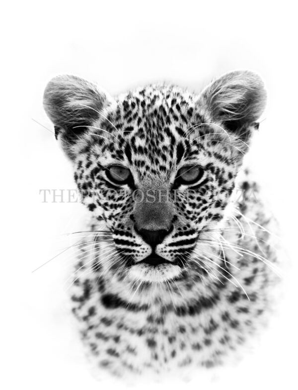 Leopard cub in black and white