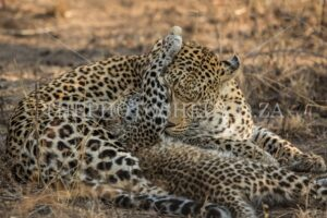 Leopard Mom & Cub bonding lovingly as a family