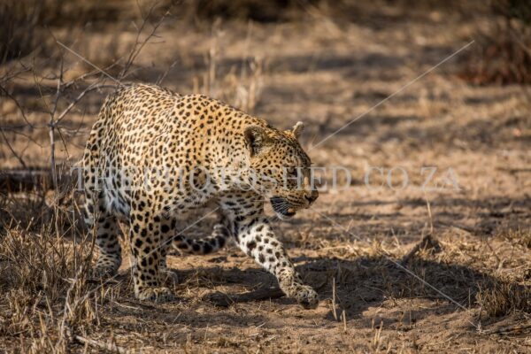 Female Leopard walking