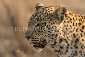 Portrait of a female leopard