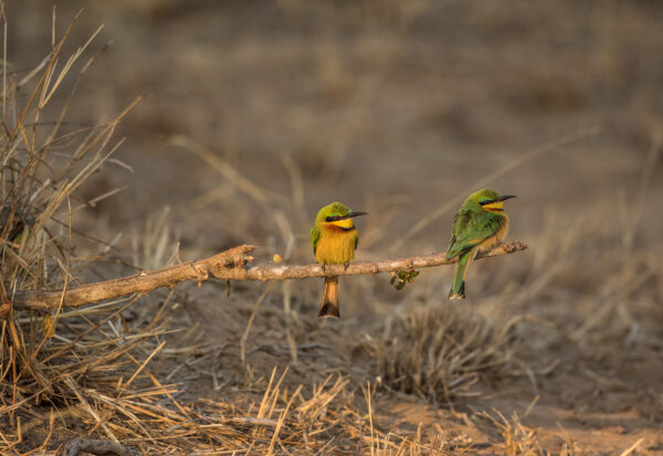 Two little Bee-eater birds sitting a branch