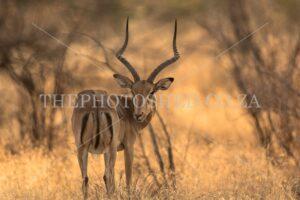 Male Impala looking back captured in Mpumalanga
