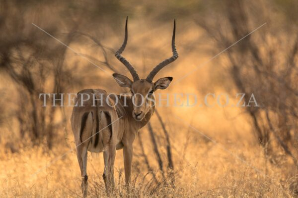 Male Impala looking back captured in Mpumalanga