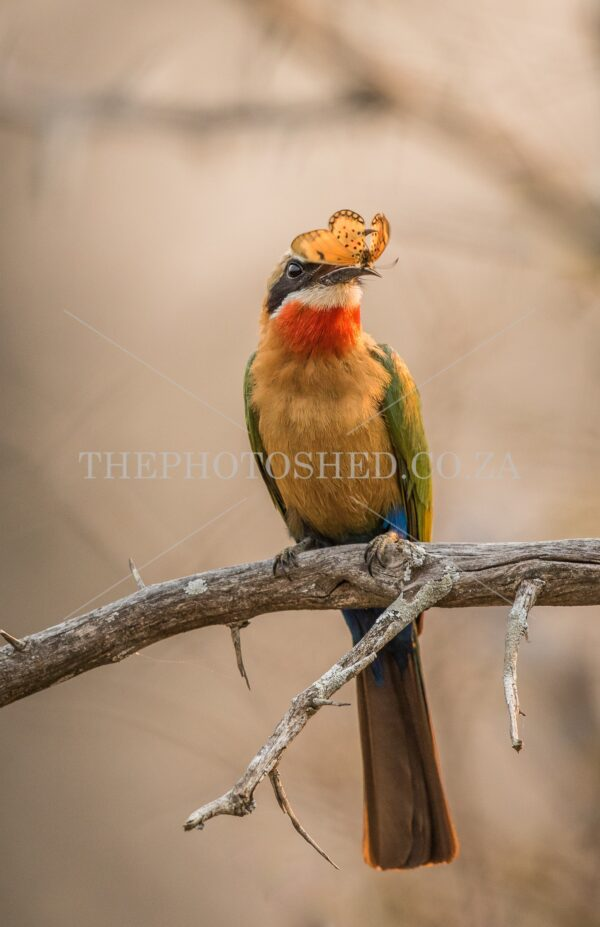 Colourful White -fronted Bee-eater eating lunch