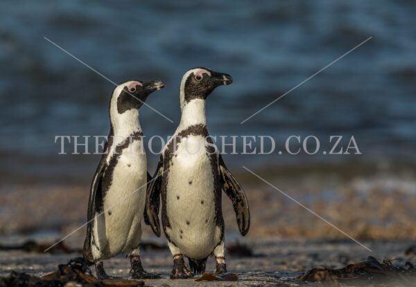 African Penguin mates standing around at Stony Point nature reserve, Betties Bay