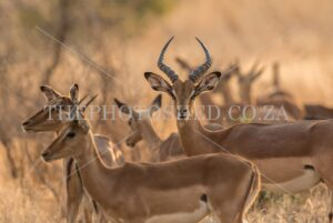 Impala captured in Mpumalanga