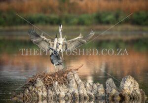 Grey Heron building a nest