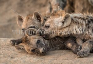 Two hyena cubs playing