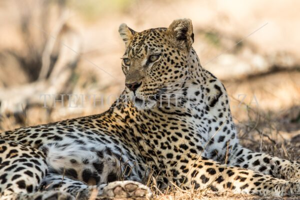 Female leopard lying down and observing