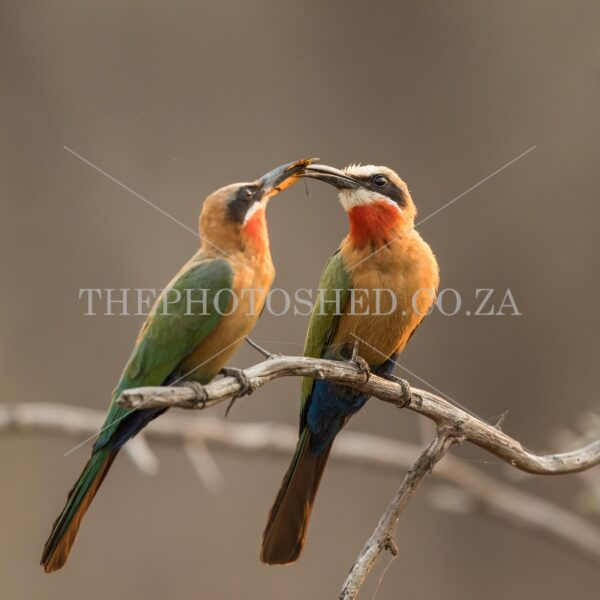 A colourful pair of White-fronted Bee-eaters offering food to another