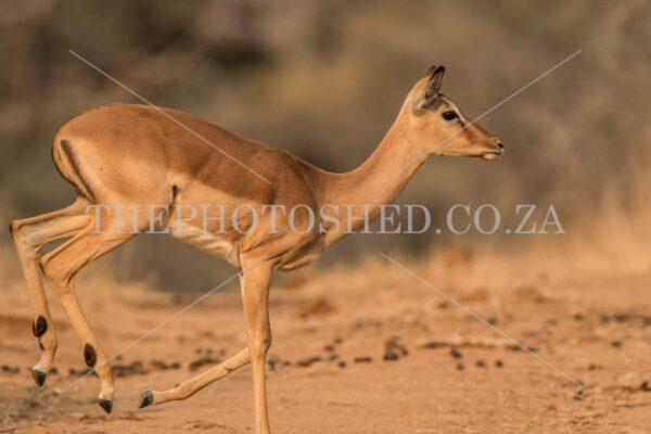 Impala trotting