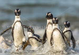 African penguins exiting the sea at Stony Point nature reserve, Betty's Bay