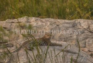 Female leopard lying on the sand