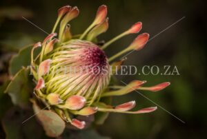 Protea Close-up facing left taken in Somerset West