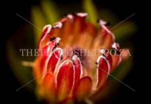 Protea Close-up taken in Somerset West