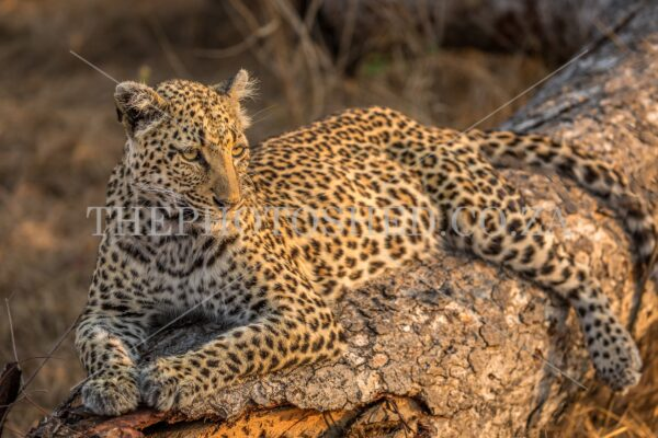 Relaxed female leopard