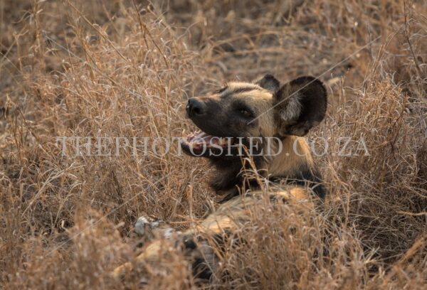 Resting Wild Dog looking back