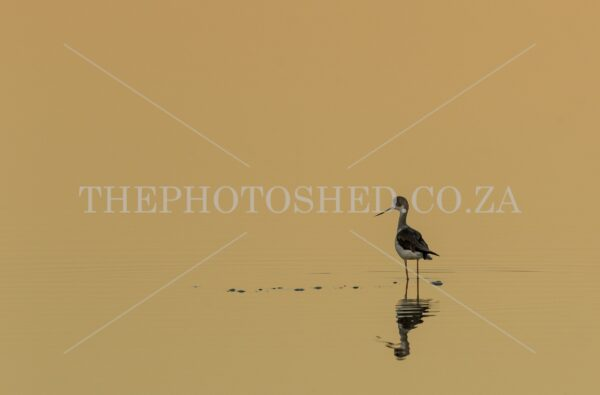 A Black-Winged Stilt photographed standing with its reflection in the ripples of water.