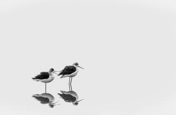 Black-Winged Stilts photographed in black and white