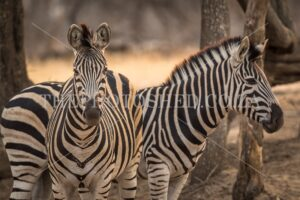 A pair of striped Zebras
