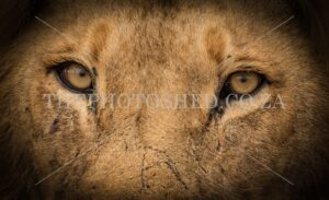 Close up male lion with scars
