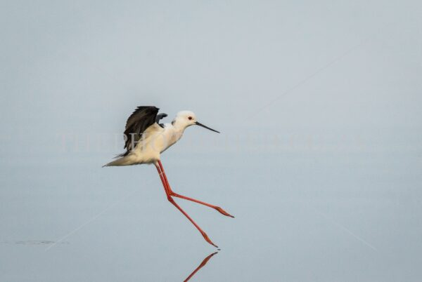 Black-Winged Stilt in flight over a salt pan