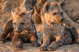 Hungry but patient Hyena cubs waiting for their mom