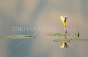 Water Lilies photographed in the Helderberg Nature Reserve
